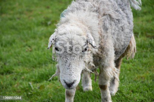 Direct look into the face of a scraggly looking clipped sheep.