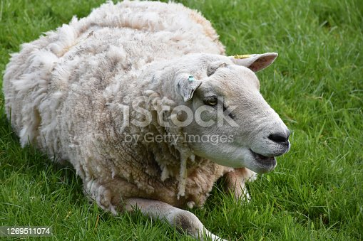 White sheep chewing while laying in a grass field.