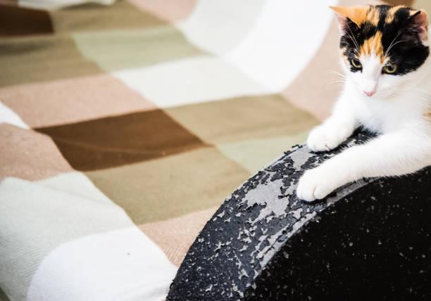 Kratzer aus Katzenklauen auf Ledermöbeln. Calico Katze und ein Sofa mit schwarzer Lederarmlehne von den Krallen einer Katze verdorben. Kätzchen zerkratzte Möbel. Schäden von Haustieren – Foto