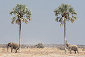 Two young African bush elephants (Loxodonta africana) scratching against Makalani palm trees to remove ectoparasites from their various body parts.