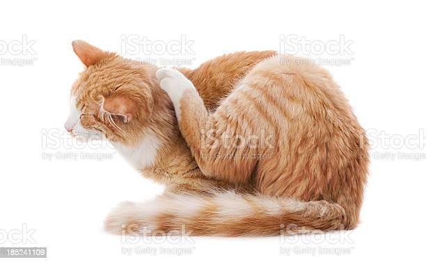 Scratching cat picture id185241109?b=1&k=6&m=185241109&s=612x612&h=btf6cq60sfaljhw 62zsqd trq0q2am1cdogh9s5meu=