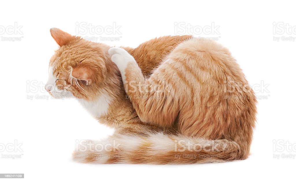 Scratching cat stock photo
