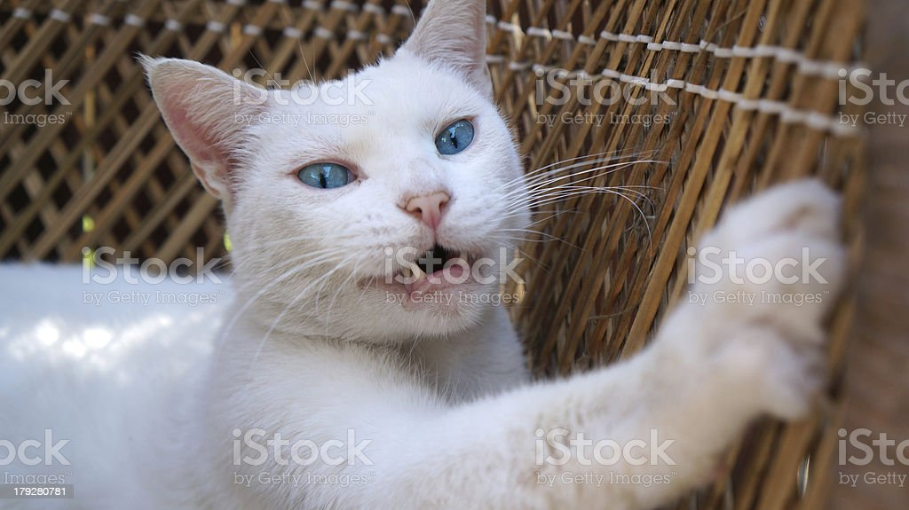 Scratching White Cat with Pink Nose royalty-free stock photo