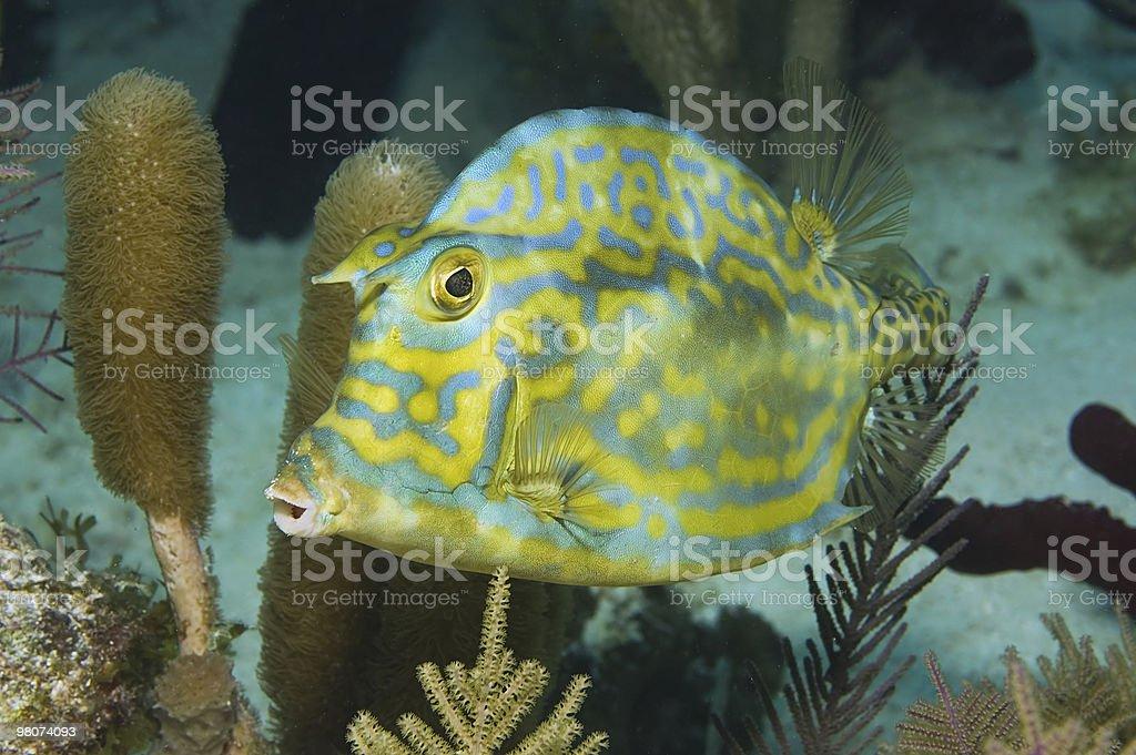 cowfish riccamente scarabocchiato foto stock royalty-free