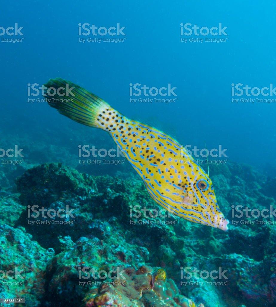 Scrawled Filefish (Aluterus scriptus) on hard coral reef stock photo
