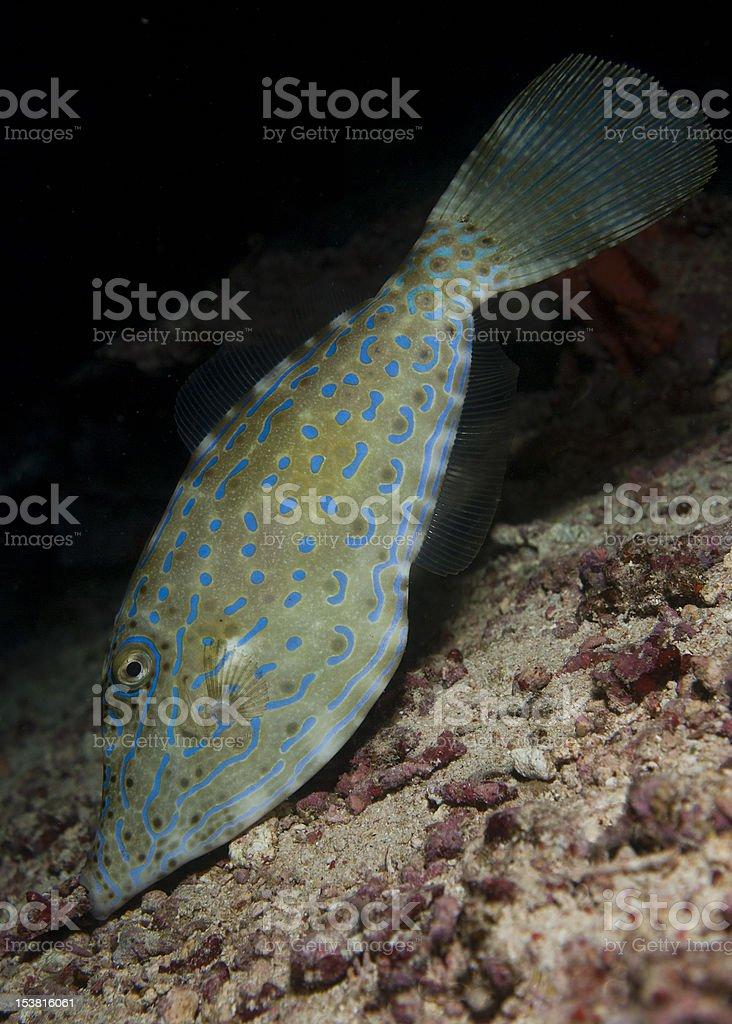 scrawled filefish stock photo