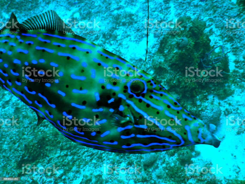 Scrawled filefish (Aluterus scriptus) stock photo
