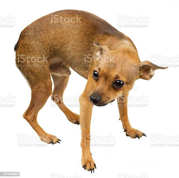 Scrawny scared chihuahua on a white background picture id137066965?b=1&k=6&m=137066965&s=612x612&h=8yrwfgfeyokenzliufx8rif femnjh7vwt 1pkq8q9m=