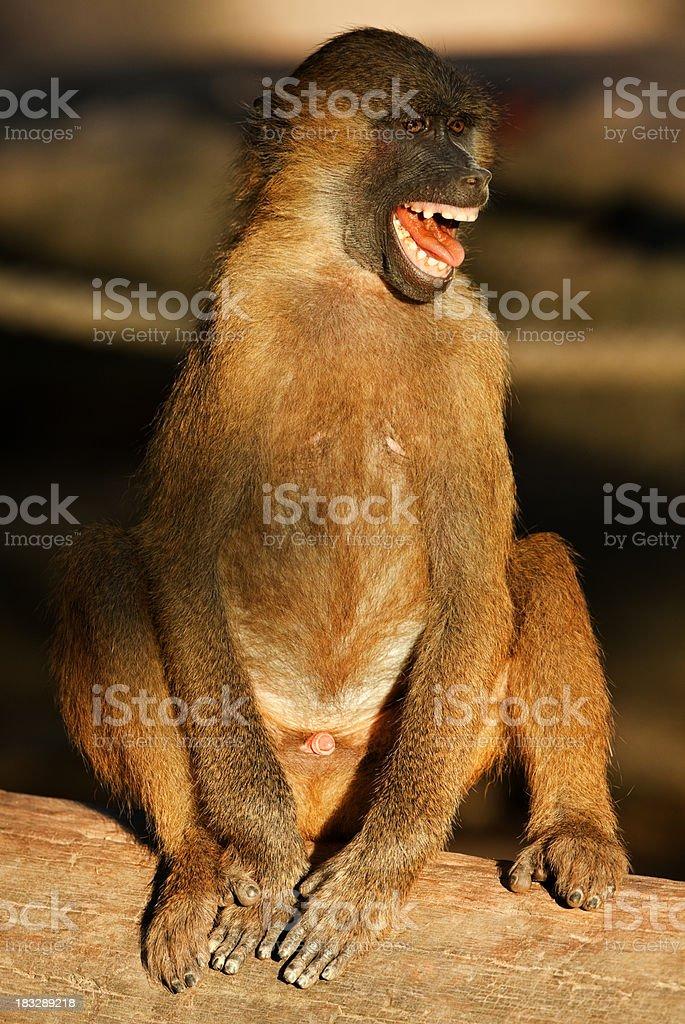 Screaming Baboon stock photo