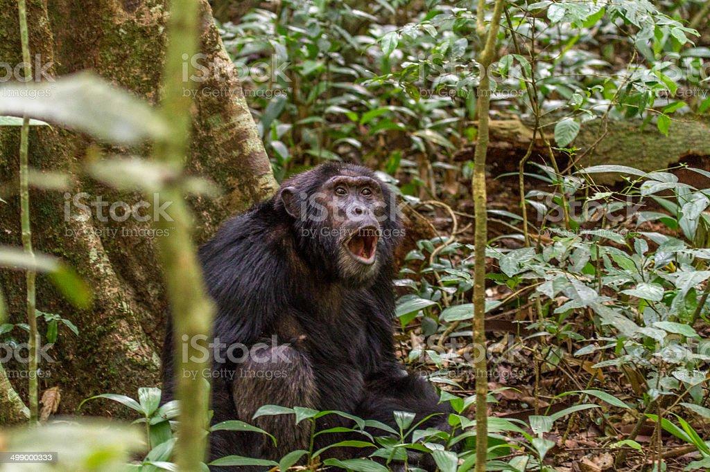 Screaming Chimpanzee stock photo