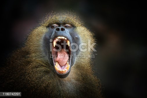Front view of a screaming Guinea baboon.