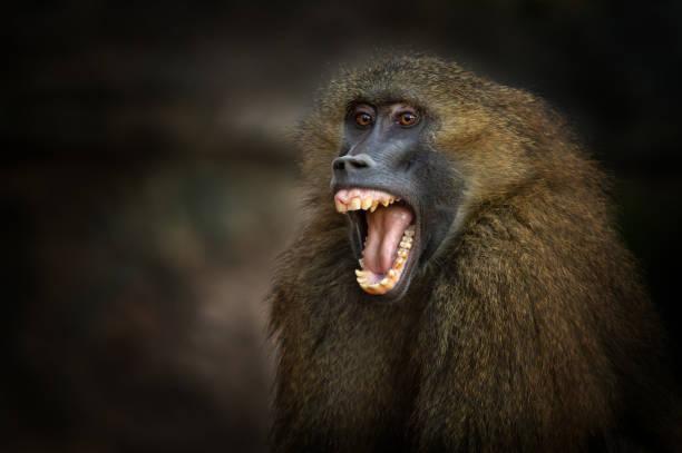 screaming guinea baboon - macaco foto e immagini stock