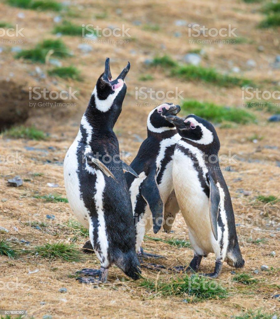 Fotografía de Gritos De Pingüinos De Magallanes y más banco de ...