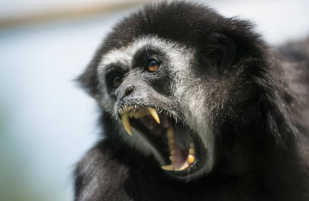 Screaming monkey stock photo