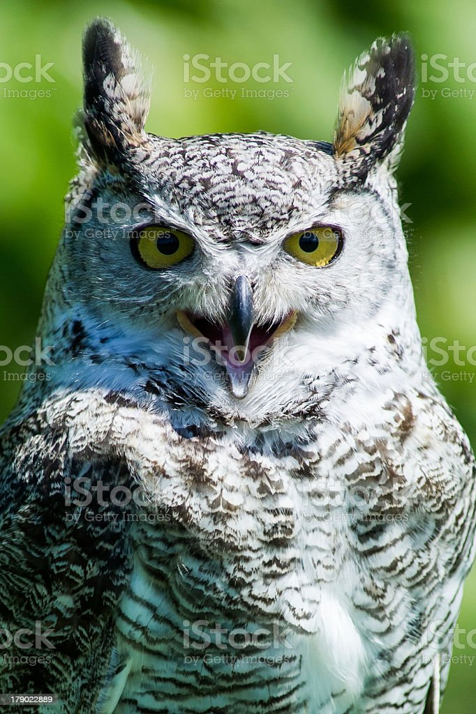 Screaming Owl Stock Photo - Download Image Now - iStock