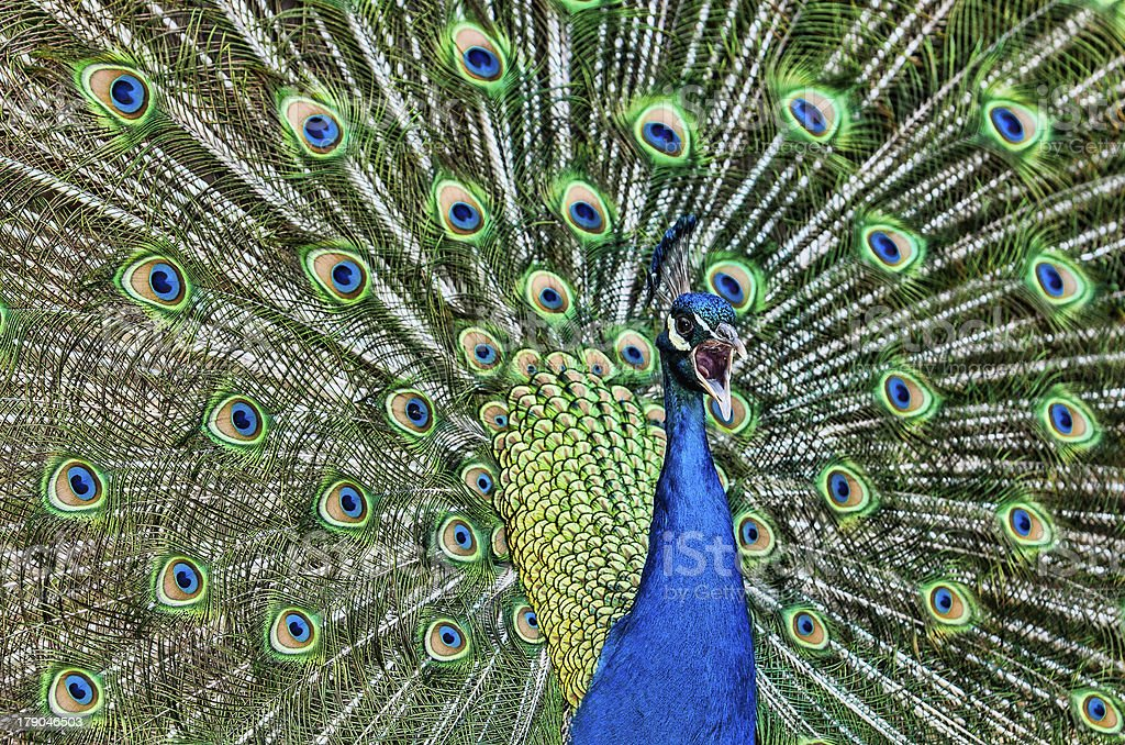 Screaming Peacock royalty-free stock photo