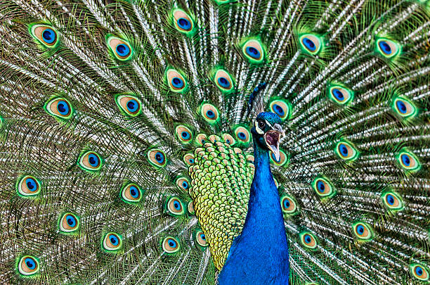 Peacock Sounds Stock Photos, Pictures & Royalty-Free Images