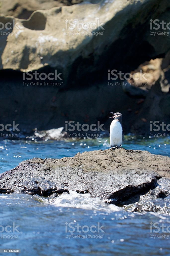 Screaming penguin stock photo