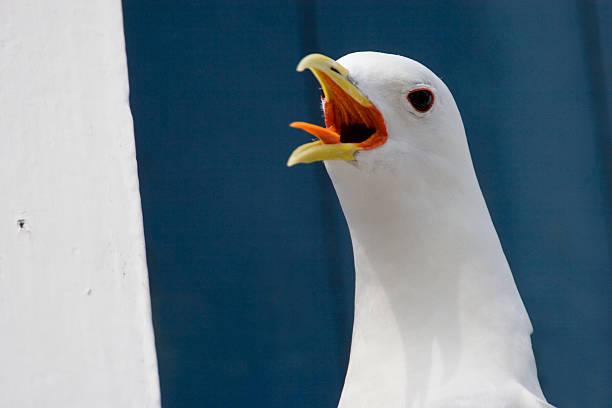 Screaming seagull. stock photo