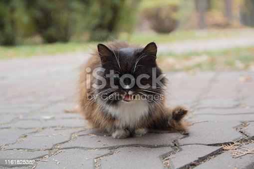 Screaming stray cat on the sidewalk. Pets