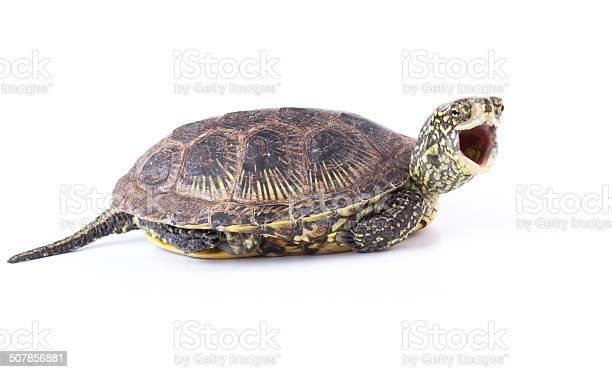 Screaming turtle picture id507856881?b=1&k=6&m=507856881&s=612x612&h=9 hig59n3j1apikgcwjgg 6qp7tmemyvux7zdqi8cdi=