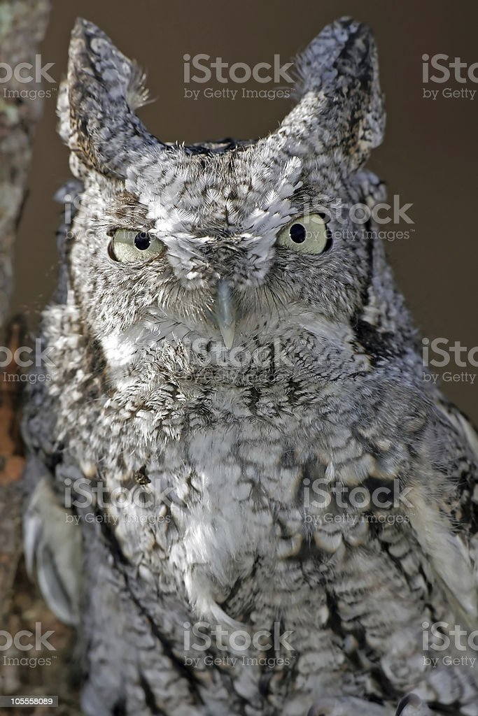 Screech Owl Closeup (white and black) royalty-free stock photo