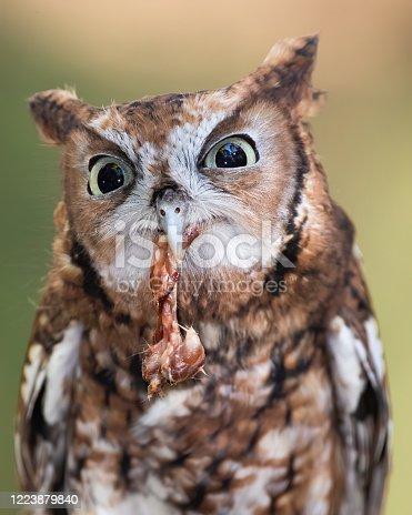 An eastern screech owl eating chicken