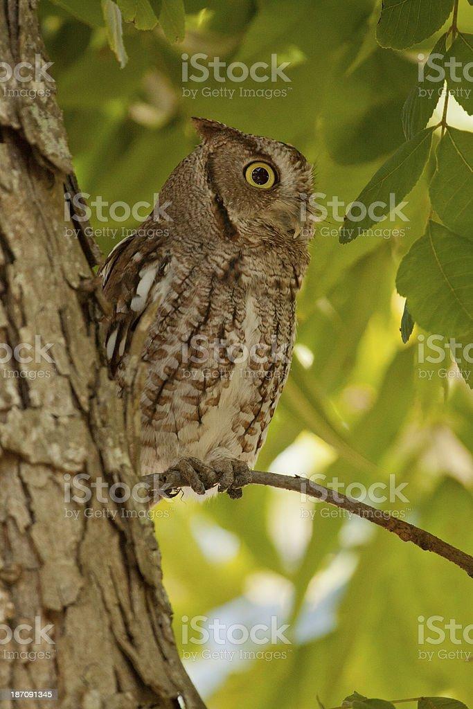 Screech Owl in Pecan Tree royalty-free stock photo