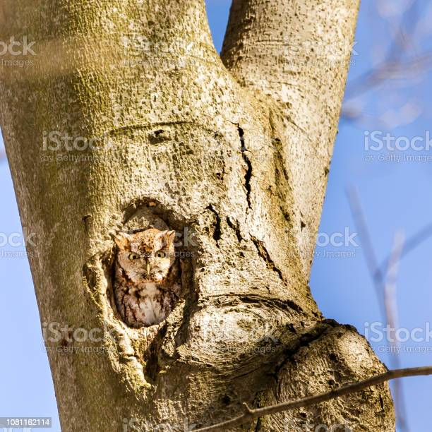 Screech owl red morph picture id1081162114?b=1&k=6&m=1081162114&s=612x612&h=mvirgax7zegmv8us  2fnvilskr7cczq2iqviot39my=