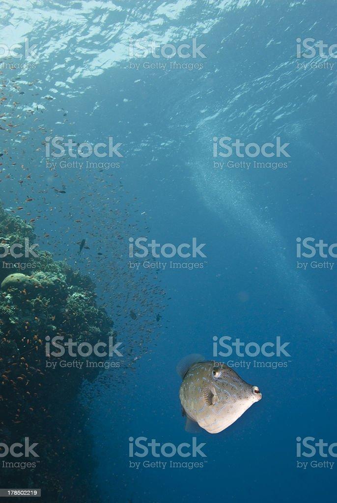 Scribbled filefish (Aluterus scriptus), looking into the camera stock photo