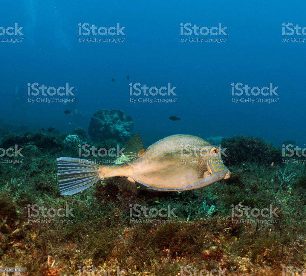 Scribbled Filefish stock photo