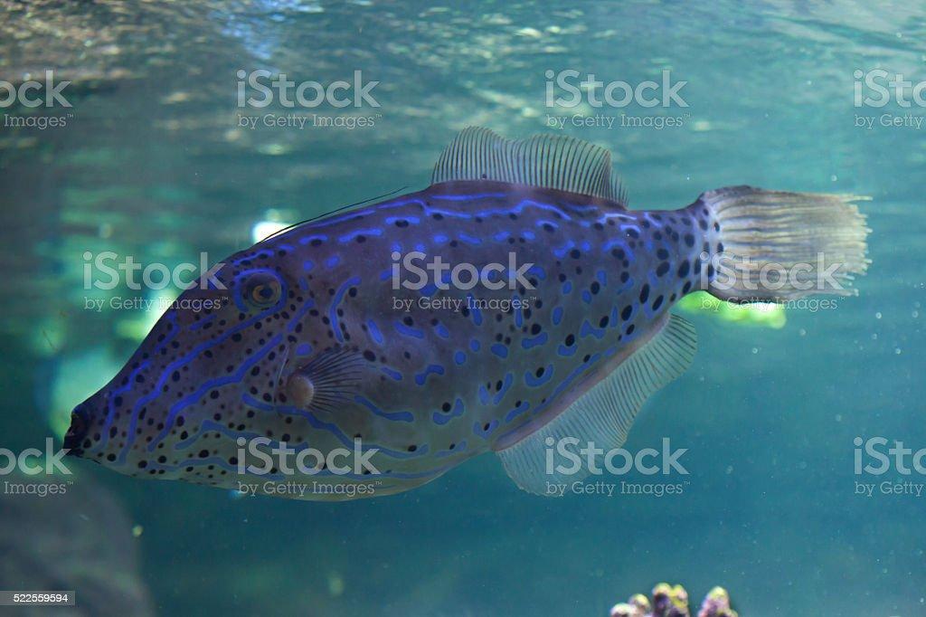 Scribbled leatherjacket filefish (Aluterus scriptus). stock photo