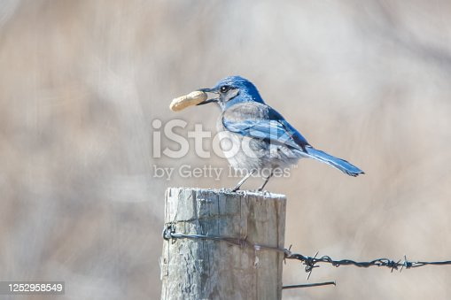 Scrub jay bird in tree