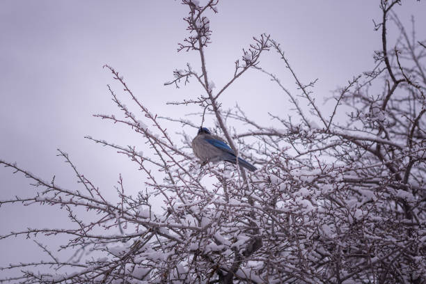 Scrub Jay In The Winter stock photo