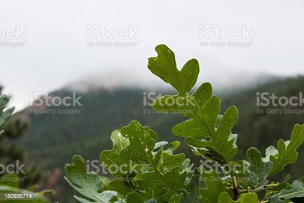 Photo of Scrub Oak Leaves