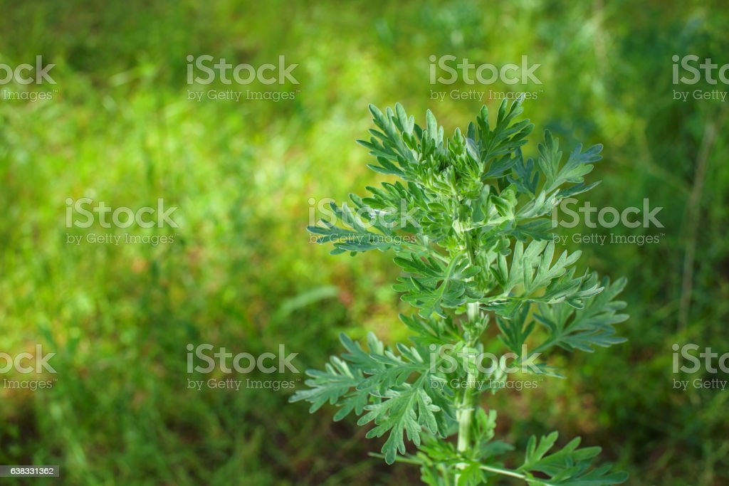 Scrub the young, silvery green herb -Artemisia absinthium. stock photo
