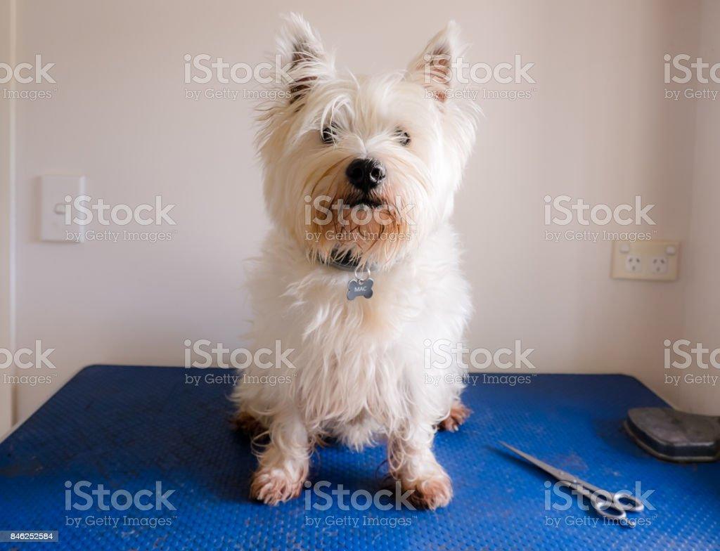 Foto de Cão De Westie Desalinhado Sujo West Highland White Terrier ...