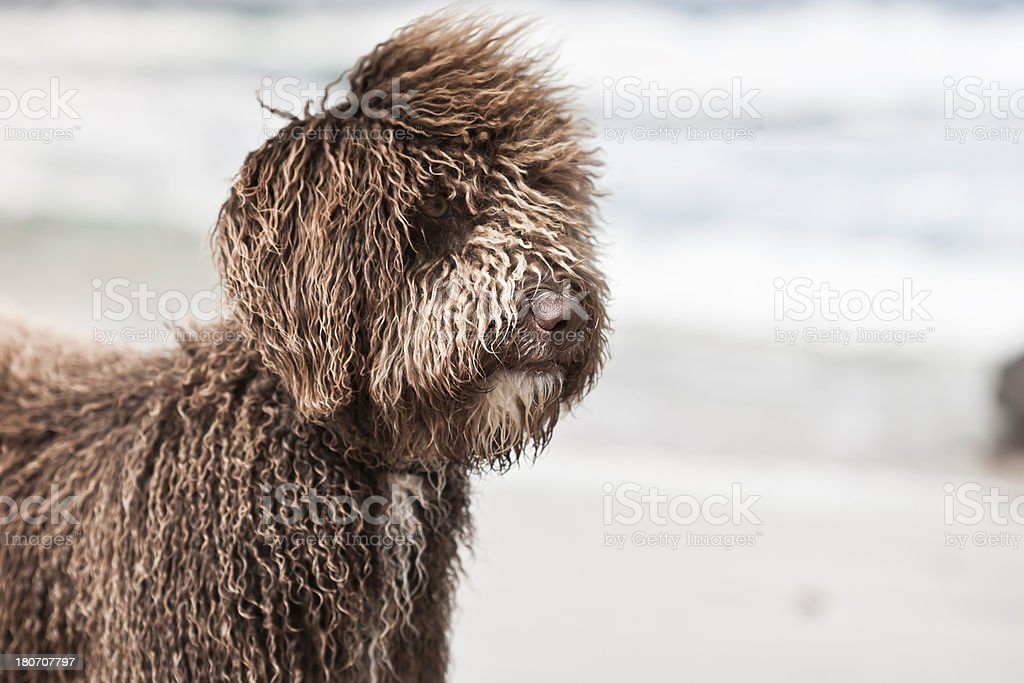 Scruffy Dog royalty-free stock photo