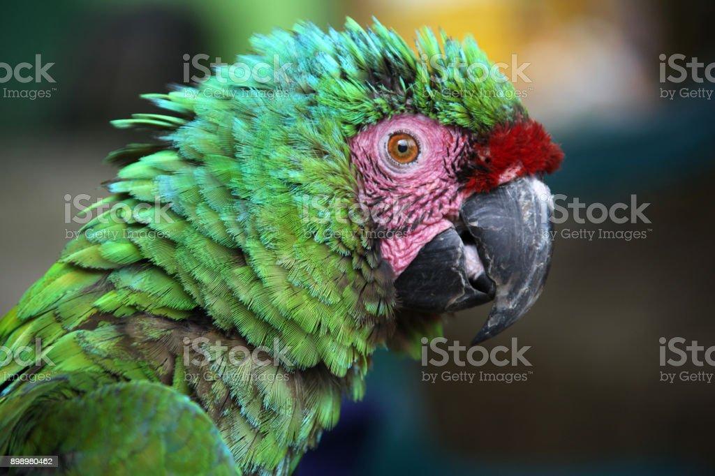 Arara verde desalinhada com penas azuis verdes & marcas-de-rosa e vermelhas no rosto, Santa Marta, Colômbia, Ámérica do Sul. - foto de acervo