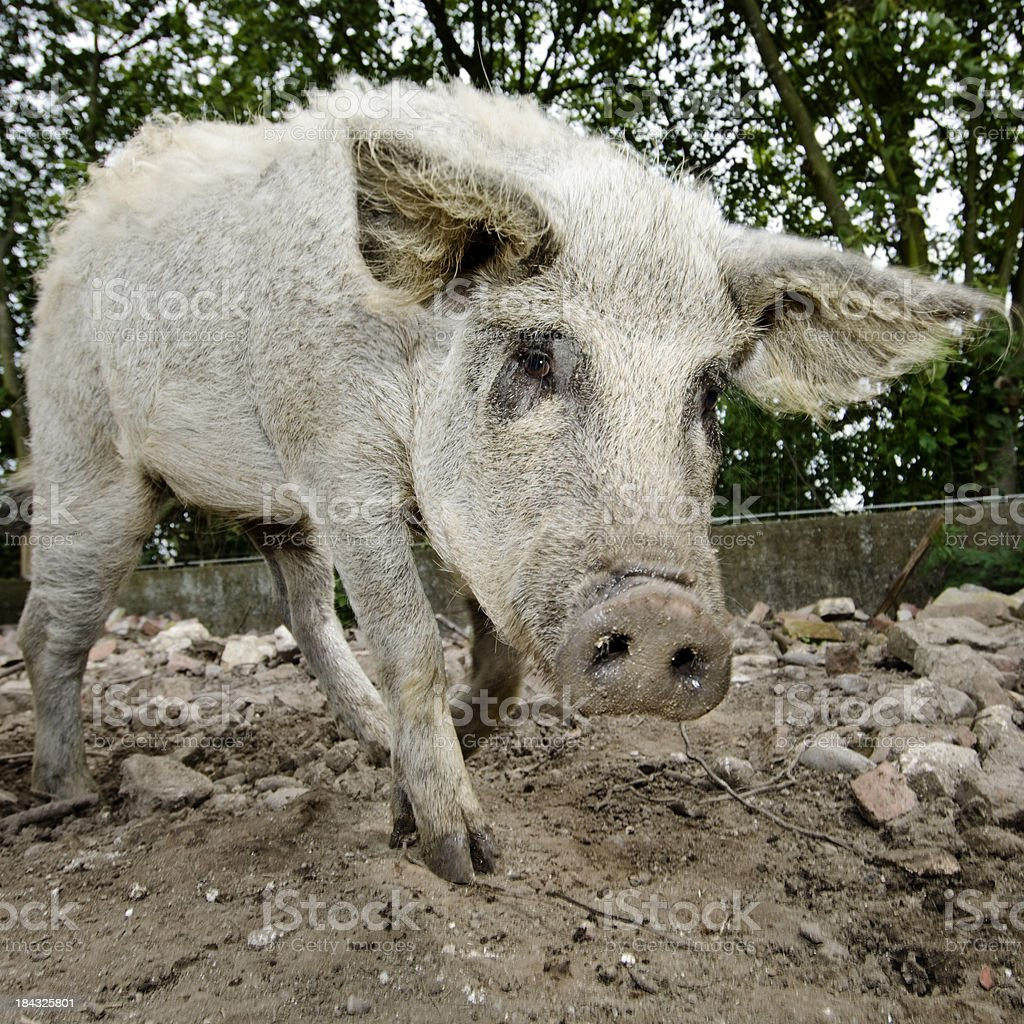 Scruffy Pig Square Crop stock photo