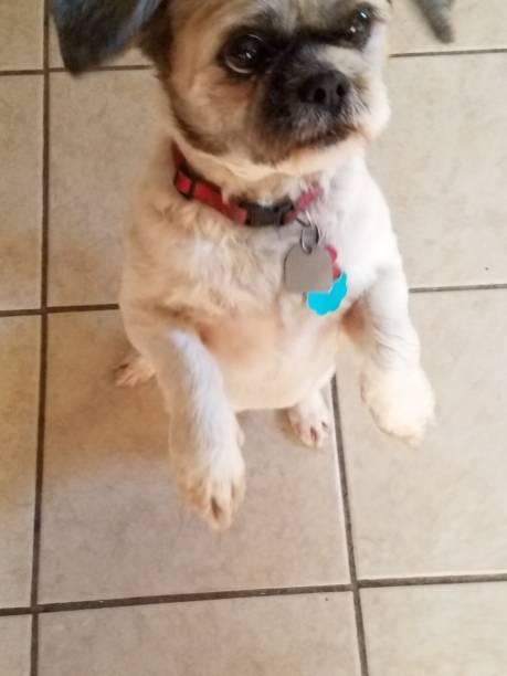 Scruffy the Shih Tzu dog stock photo
