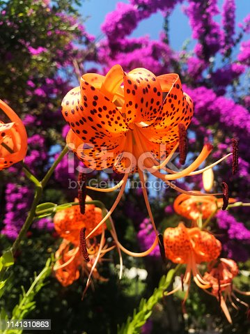 scrumptious colorful flowers, tiger lily