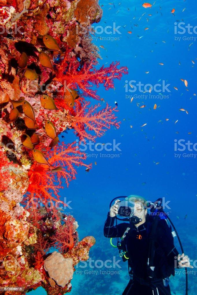 Scuba diver est Explorer et profiter des coraux de vie rouge corail mer photographe de sport femmes sous l'eau photo libre de droits