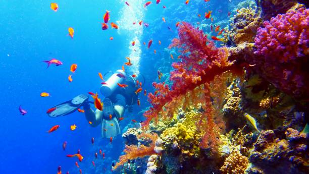 scuba diver near beautiful coral reef - great barrier reef stock pictures, royalty-free photos & images