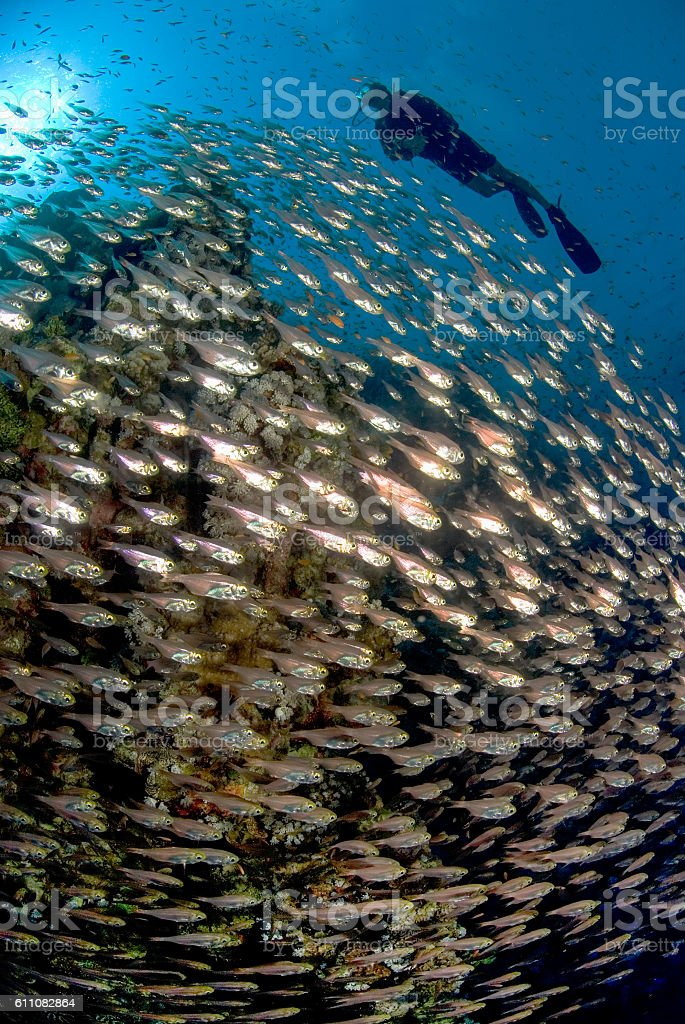 Scuba diver swimming with a huge school of fish stock photo