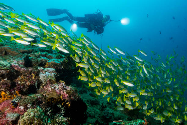 scuba diver with school of bigeye snapper fish stock photo