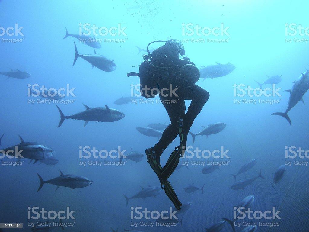 Buceo con atún de peces - foto de stock