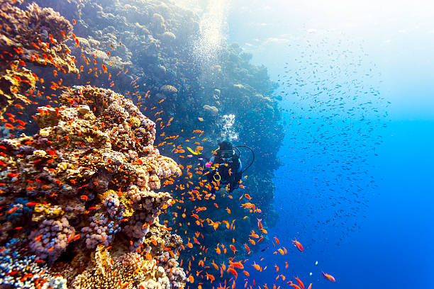 scuba diver woman swims along the reef - underwater diving stock photos and pictures
