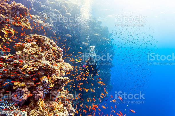 Scuba Diver Woman Swims Along The Reef Stock Photo - Download Image Now