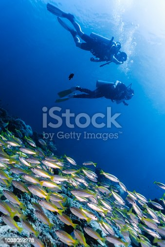Coral reefs are the one of earths most complex ecosystems, containing over 800 species of corals and one million animal and plant species. Here we see three unrecognisable scuba divers in a shoals of Bigeye Snapper (Lutjanus lutjanus). The large school of fish group together as a means of protection from predators. This is a typical animal behaviour that ensures the species survival. The location are the Bida Islands, Phi Phi Archipelago, Andaman Sea, Krabi, Thailand.